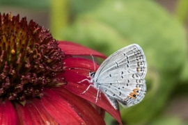 EasternTiger Blue on Red Cone Flower