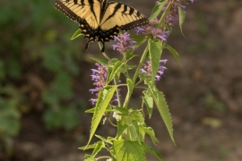 Eastern Tiger swallowtail on - Agastache Blue Giant Hyssop