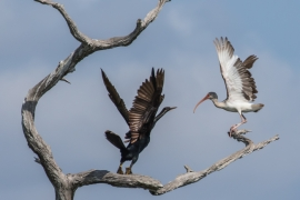 Double-crested Cormorant and White Ibis