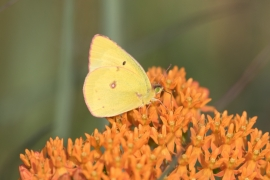 Common Sulphur