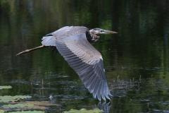 Greta Blue Heron