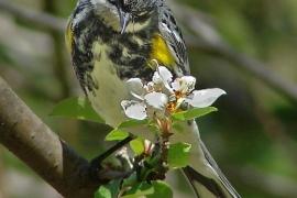 Yellow-rumpeded Warbler