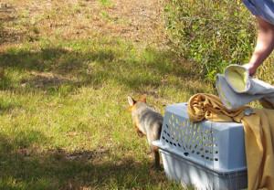 cedar-run-fox-2jpg-a46aafc308946df8