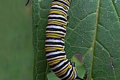 Monarch Butterfly Catipillar