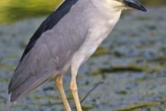 Back-crowned Night Heron