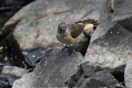 Ameriican Redstart