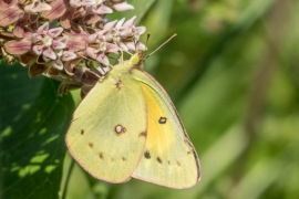 Clouded Sulphur on Common Milkweed