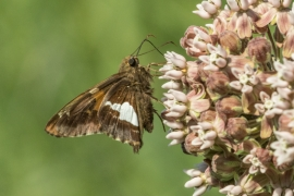 Silver Spotted Skipper on Common Milkweed