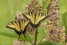 Eastern Tiger swallowtail on Common Milkweed