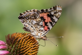 Painted Lady on Purplr Cone Flower