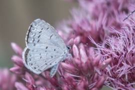 Spring Azure on Joe Pye Weed