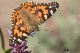 Painted lady on Blue Giant Hyssop