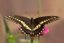 Back Swallowtail