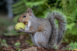 Eastern Gray Squirrel with Black Walnut