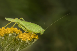 Katydid on Yarrow