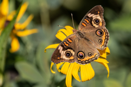 Common Buckeye on Black-eyed Susan