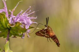 Hummingbird Moth on Bee Balm