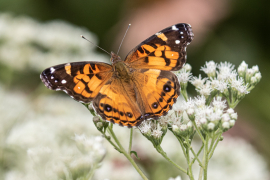 Painted Lady on Boneset