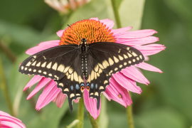 Black Swallowtail on Purple Cone Flower