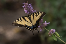 Eastern Tiger swallowtail on Agastache - Blue Giant Hyssop