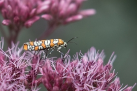 Ailanthus Webworm Moth on Joe Pye Weed