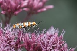 Ailanthus Webworm Moth on Joe Pye Weed