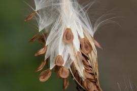 Swamp Milkweed Seedpod