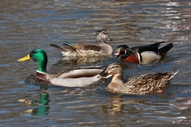 Mallards-Wood Ducks