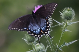 Spicebsh Swallowtail