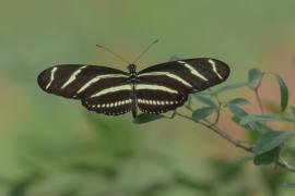 Heliconian Zebra