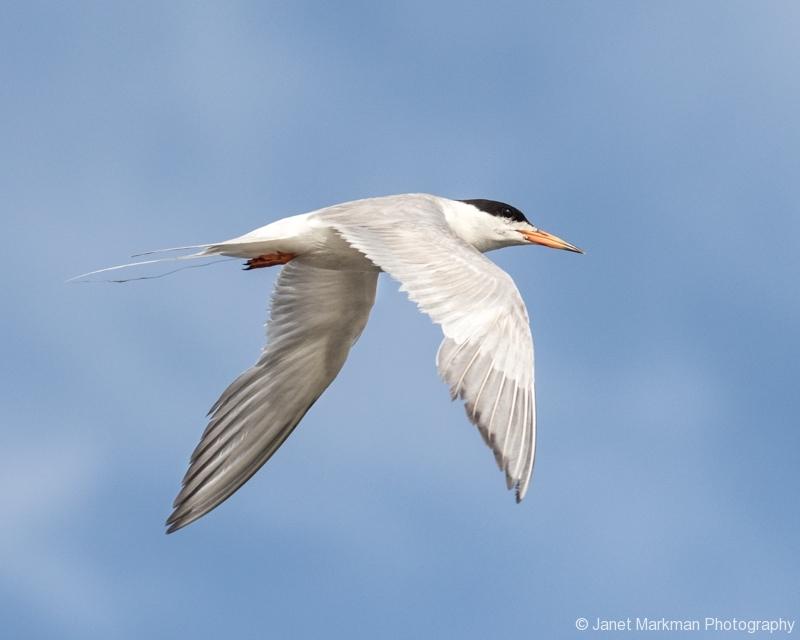 Foerster's Tern