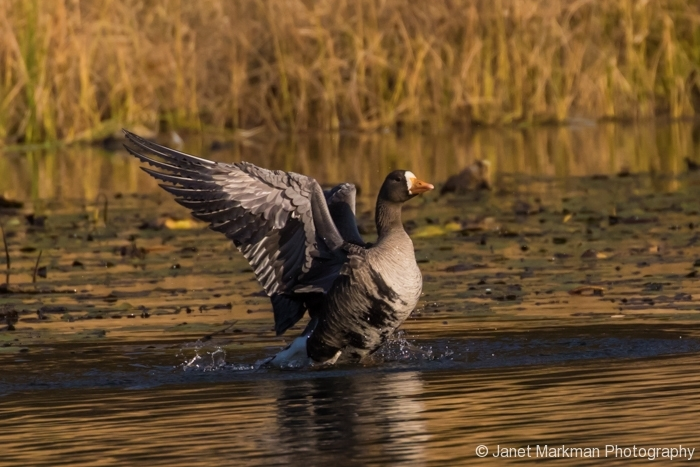 Greater White - fronted Goose
