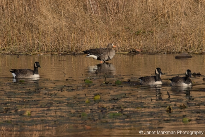 Canadian Geese - White _ fronted Goose