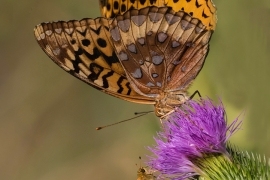 Great Spangled Fritillary - Pecks Skipper