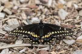 Black Swallowtai