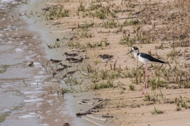 Black necked-stilt