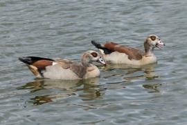 Eyptian Geese