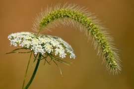 Queen's Anne Lace- Foxtail